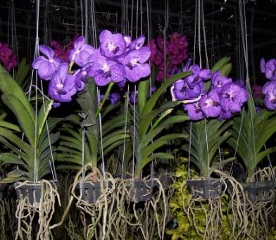akar gantung tanaman anggrek