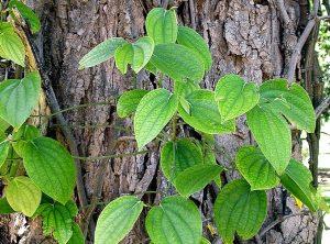 akar pelekat tanaman sirih