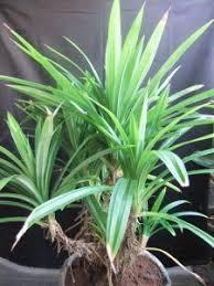 akar tunjang tanaman pandan