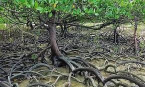 Akar lutut tanaman mangrove