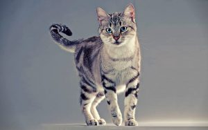 american-wirehair-cat-wallpaper-preview