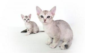 asian-cat-malayan-cat-gray-kitten-cute-animals-pets