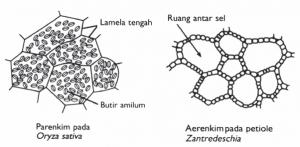 struktur jaringan parenkim
