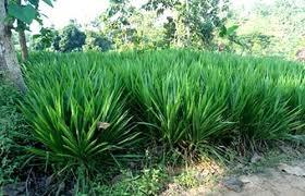 rumput pakan ternak