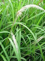 rumput gulma