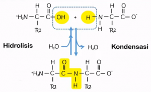 struktur peptida