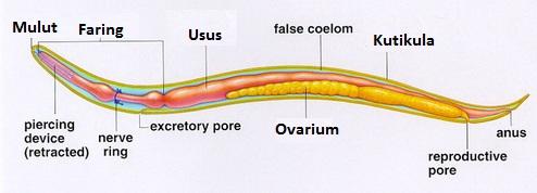 gambar struktur tubuh nemathelminthes
