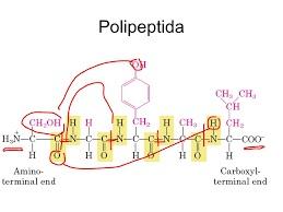 polipeptida