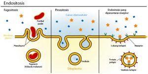 proses endositosis