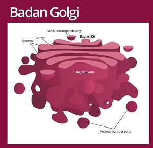 struktur badan golgi