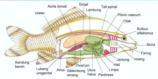 bagian tubuh ikan