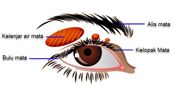 bagian luar mata