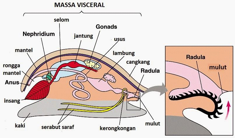 struktur moluska