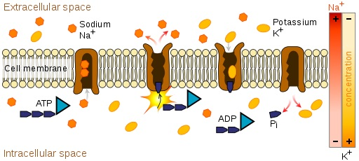 Ilustrasi sodium-potassium pump