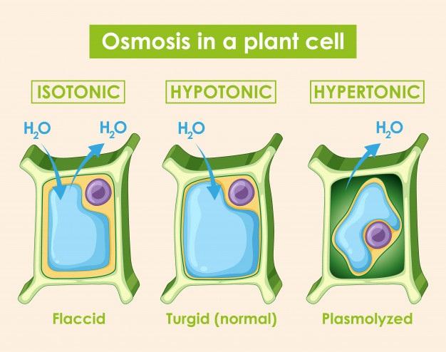 Osmosis pada sel tumbuhan