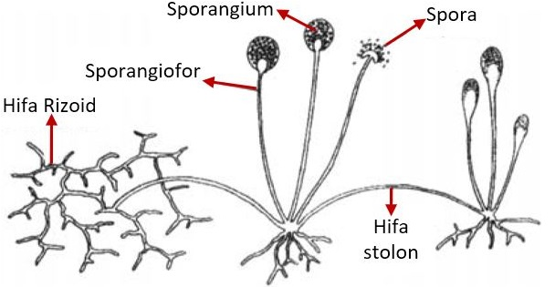 Struktur Tubuh Basidiomycota