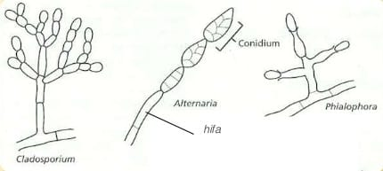 struktur deuteromycota