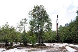 Hutan kerangas - Wikipedia bahasa Indonesia, ensiklopedia bebas