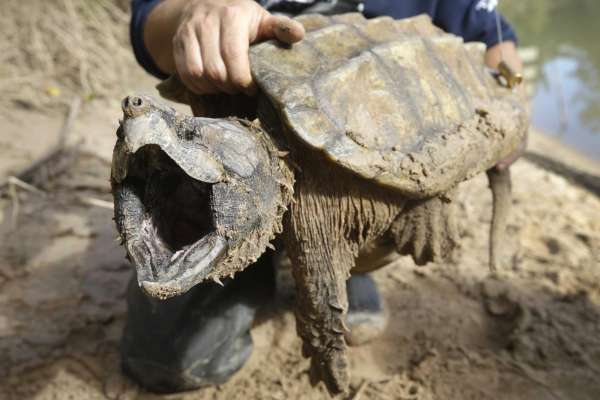 Alligator Snapping
