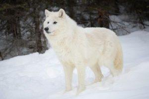 Serigala Arktik