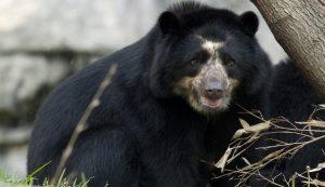 Beruang Andes