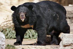 Beruang Hitam Asia