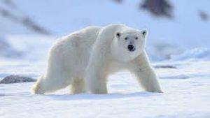 Polar Bear atau Beruang Kutub