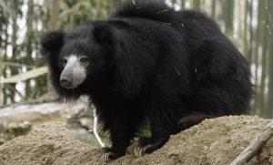 Beruang Sloth atau Sloth Bear