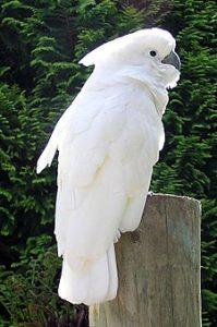 Kakatua Putih