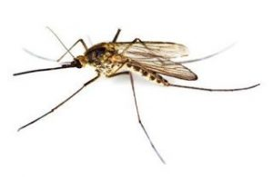 Nyamuk Culex