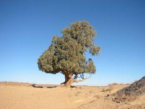 Sahara Cypress
