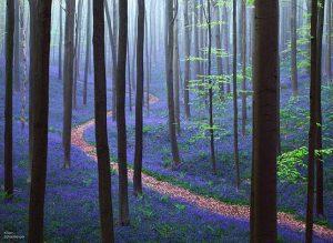 Hutan Hallerbos-Belgia