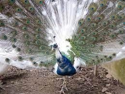 Burung Merak Blorok