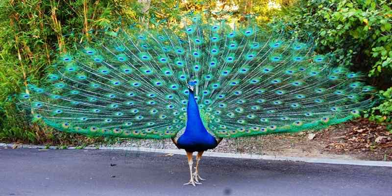 5 Jenis Burung Merak Beserta Gambarnya Haloedukasi Com