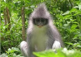 Monyet Surili