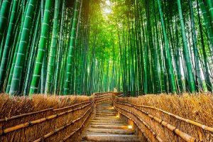Hutan Bambu Sagano-Jepang