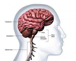 anatomi Otak Kecil